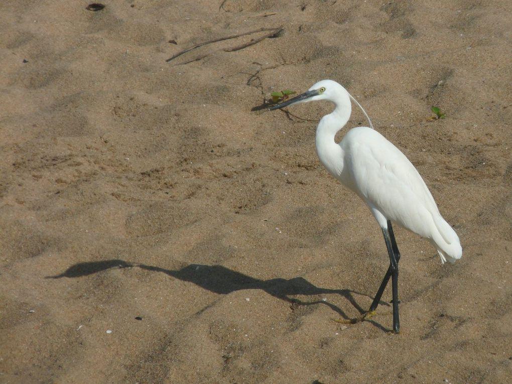 Aigrette garzette (Little Egret)