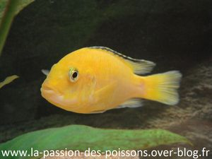 Photos Labidochromis-caeruleus