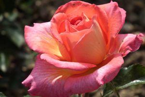Quand refleuriront les roses