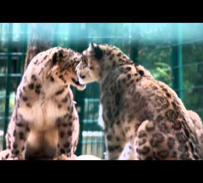 Zoo des 3 vallées Panthère DES NEIGES 2