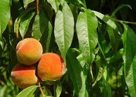 El melocotonero - Prunus persica