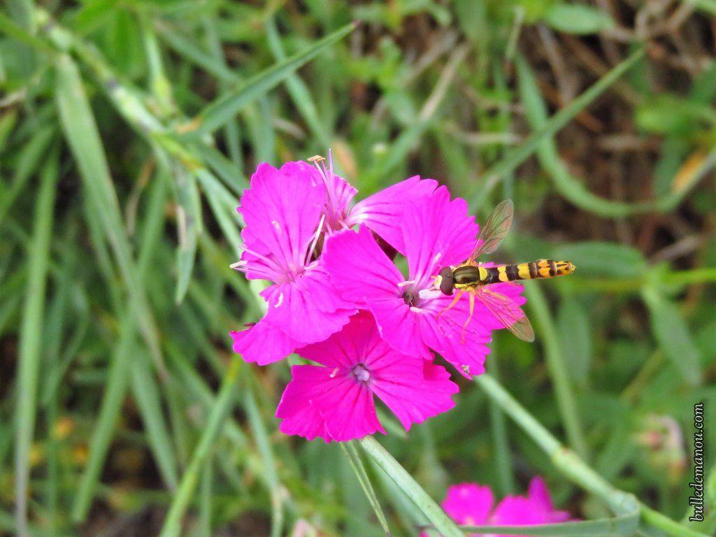 Papillons de Haute-Loire et autres insectes