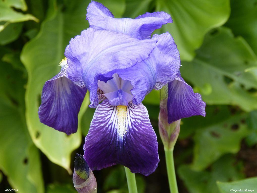 Iris  des jardins - iris x barbata Hort