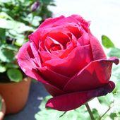 b4. Les rosiers hybride de thé (grandes fleurs) - plaisir-jardin.com