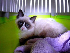 Pandy, chaton femelle siamoise, à l'adoption -> adoptée