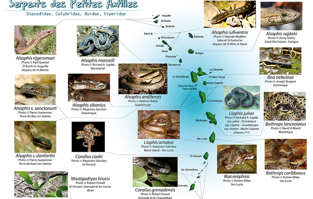 Serpents des Petites Antilles (exceptés les Typhlops)
