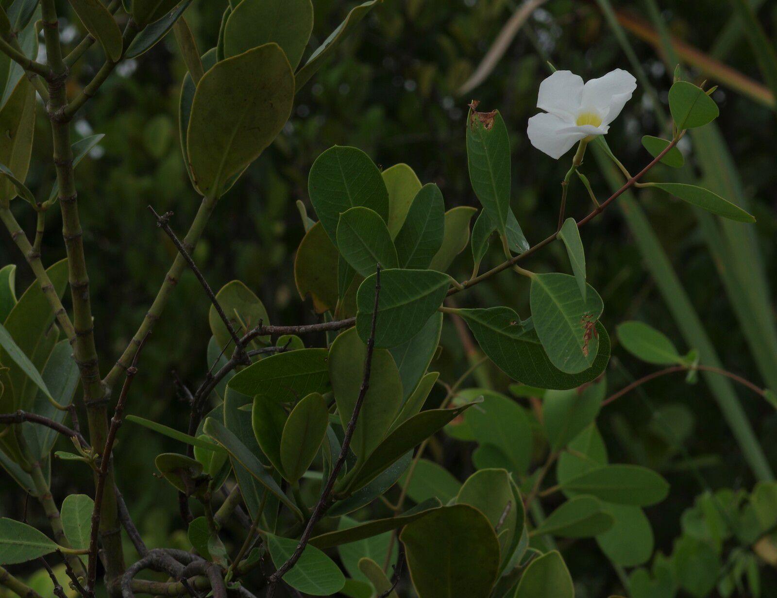 Rhabdadenia biflora