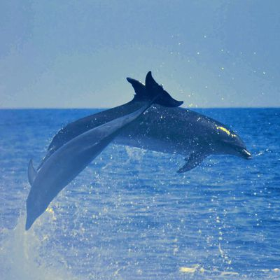Grand dauphin de mediterrannee