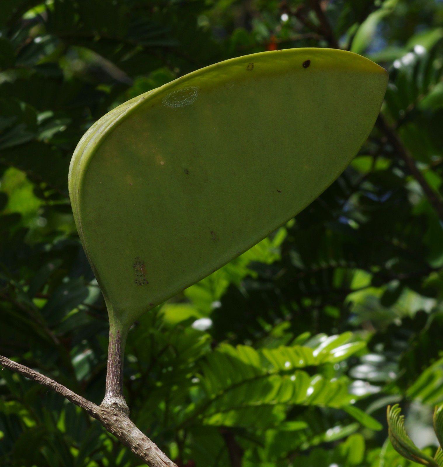 Dimorphandra polyandra
