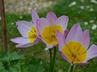 Hip hip hip pour les Tulipes !