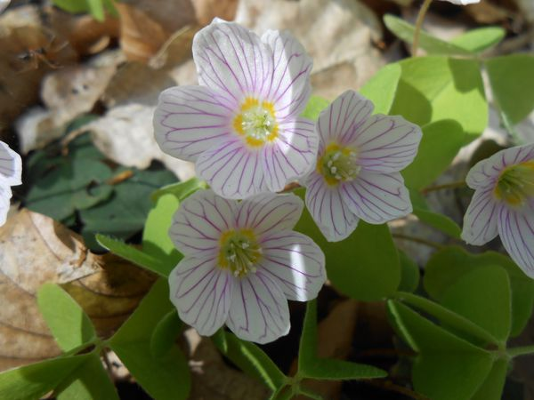 Oxalis acetosella feuilles et fleurs