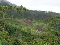 L'activité maraichère du plateau de Dieng