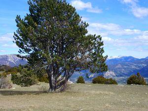 Les pins noirs (ou à crochets) sont infestés par les chenilles...