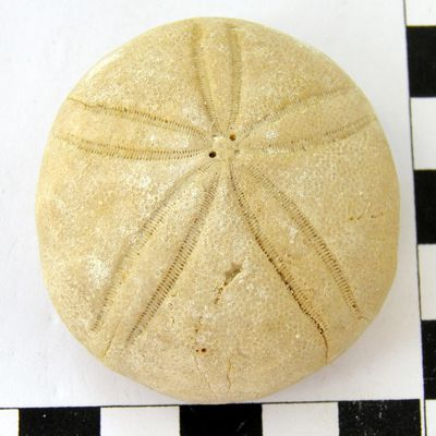 Echinolampas burdigalensis