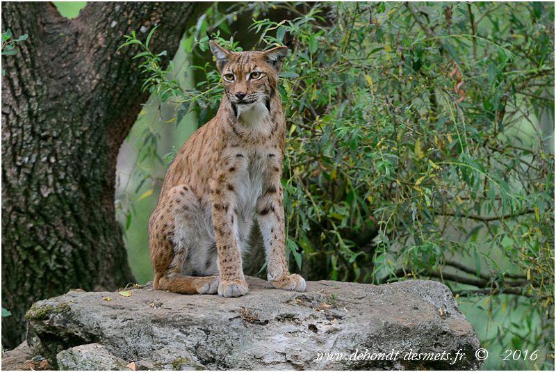 Les principaux prédateurs naturels du geai sont les rapaces nocturnes (Hibou grand-duc, Chouette hulotte) la femelle Epervier, le Faucon pèlerin, le Chat sauvage et le Lynx.  La Martre, les Écureuils et les Corvidés s'attaquent aux oeufs et oisillons.