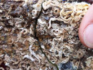 Chez les Vers : Némerte (Lineus longissimus) ; Eulalie (Eulalia viridis) parmi les nombreuses Serpules (Spirobranchus triqueter & lamarcki), vers vivant dans des tubes calcaires