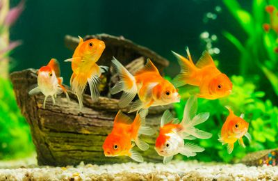 Buying Goldfish for Sale - What to Consider Before You Buy