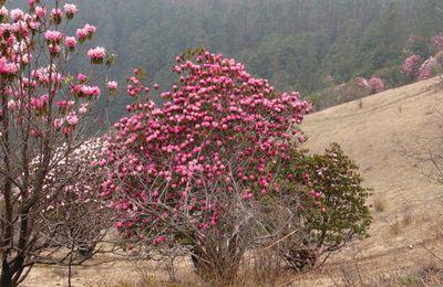 Népal, les merveilleux rhododendrons