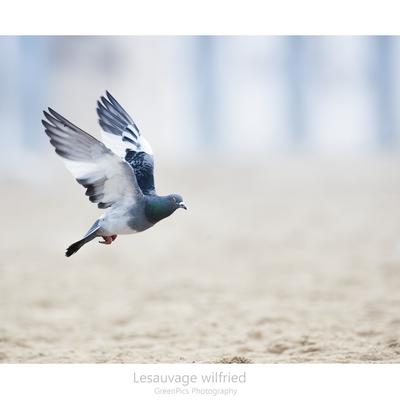 pigeon oiseau commun et pourtant ...