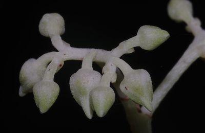 Rinorea sp2