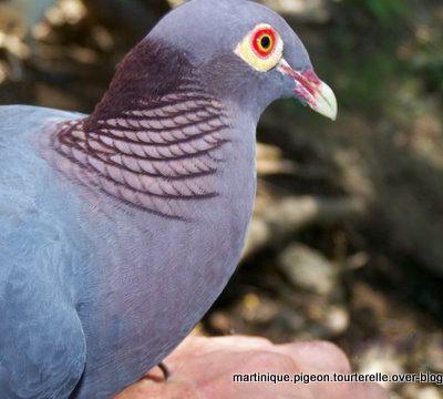 Bienvenue sur le site Martinique pigeon tourterelle
