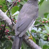 Geai enfumé - Psilorhinus morio - Brown Jay