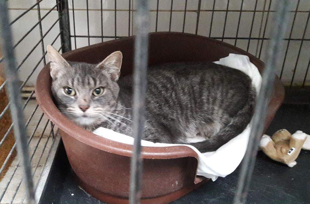 Elle est adoptée !!! :  TIARE, très gentille petite chatte stérilisée de 4 ans