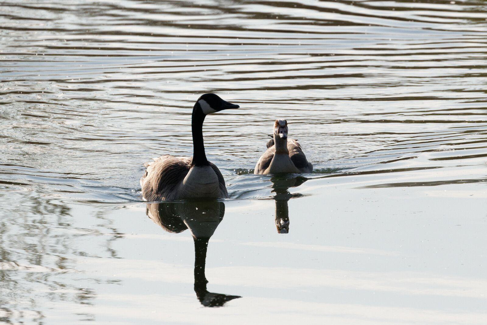 563 - Migration en cours et premiers poussins, 2021 déroule sa vie sauvage : 28 avril et 01/05/2021