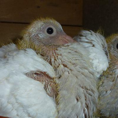 Mes pigeons texans : jeunes et parents