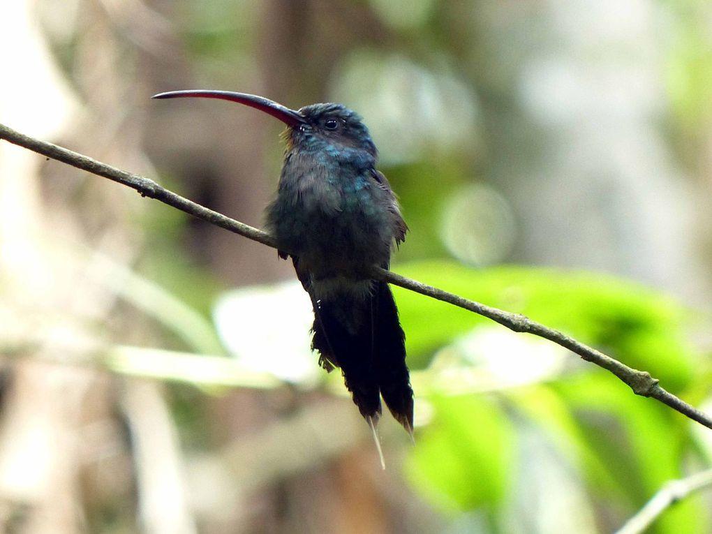 Colibri Ermitano