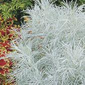 Nouveau ! Artemisia 'Makana Silver' - Jard'infos