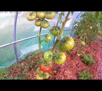 Comment tailler ses tomates !