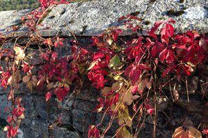 Couleurs d'automne sur murets de pierre