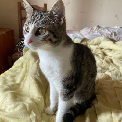 Seïa, chat femelle blanche et tigré de 2021, à l'adoption