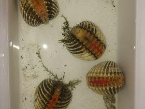 Une photo des petites algues qui vous aideront à repérer les coques rouges