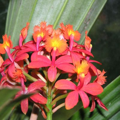 Classification des Orchidées : le genre Epidendrum