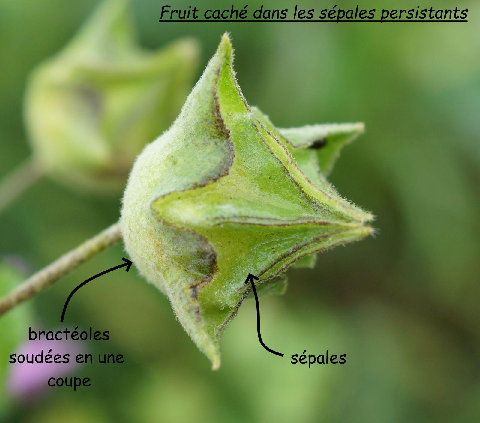 Fruits de la mauve inconnue