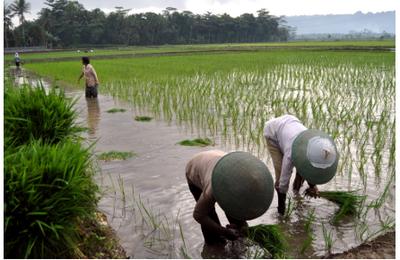 [Science militante :] la protection des cultures sans pesticides apporte des avantages économiques appréciables dans la région Asie-Pacifique