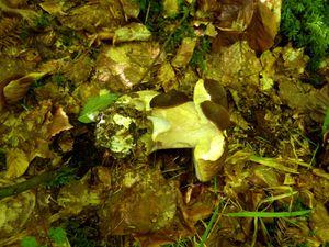 Les limaces apprécient également ce champignon