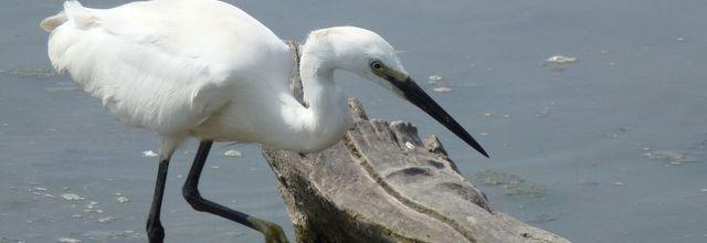 Le Parc ornithologique de Pont de Gau (3) : L'aigrette garzette / Balade en Camargue