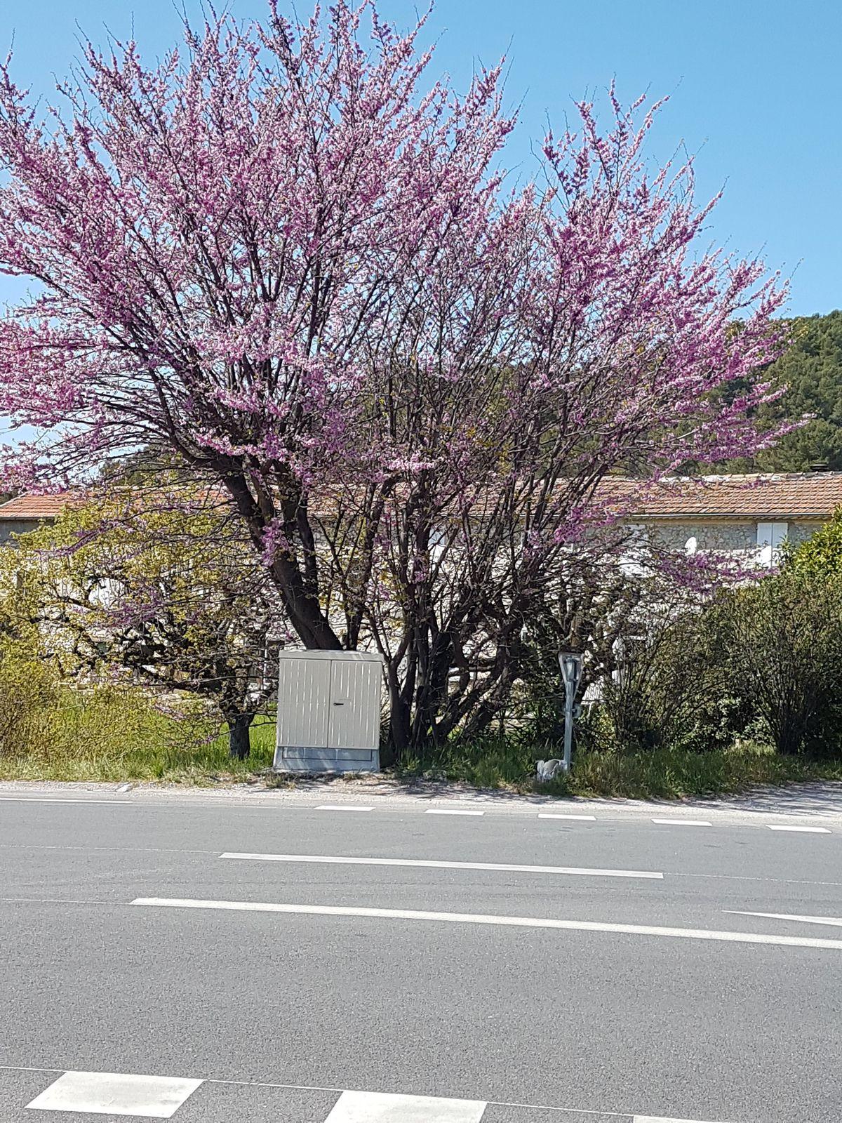 Magnifique arbre en fleur actuellement dont je ne retrouve pas le nom ?
