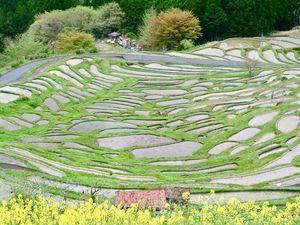 Bordées de fleurs de colza (Na no hana) qui poussent à profusion au Japon