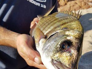 Rockfishing La pêche des sparidés en méditerranée