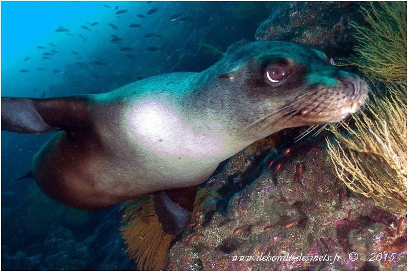 L'otarie des Galapagos est le plus petit lion de mer de la planète et ne vit que sur les îles des Galapagos. Avec son tempérament joueur et son agilité incroyable dans l'eau, elle fait un agent d'accueil sans pareil aux îles Galápagos.
