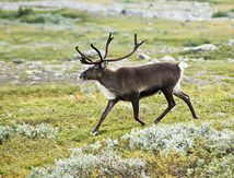 Le renne ( ou Caribou )