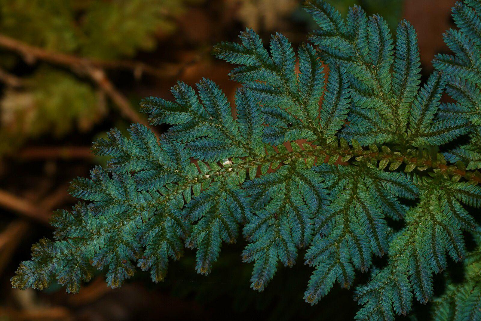 Selaginella willdenowii