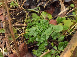Les vivaces sont repiquées dans les massifs, les fraisiers en bordure de planches. Quant aux mauves que j'adore en légume au printemps, elles peuvent rester en place.