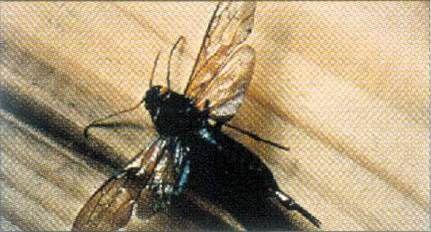 Le Boiseux chasse les insectes xylophages et soigne vos plateaux planche par planche