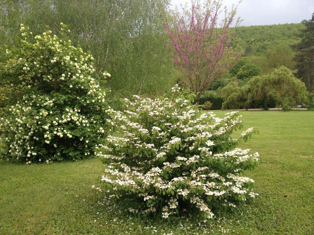 Viburnum plicatum mariesi - 19 avril et 11 novembre (3 photos)