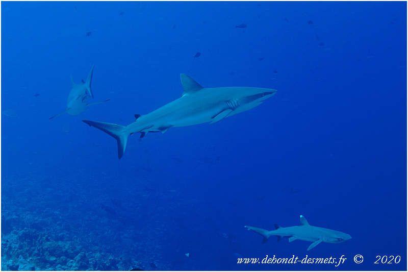 Le requin corail est avec le requin gris de récif l'espèce la plus facilement observable sur les fonds récifaux coralliens de la mer Rouge et de l'indo-Pacifique tropical.